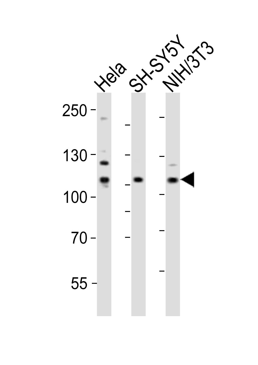 1 - Mouse Ephb3 Antibody (Center) AP20993a