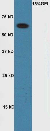 1 - Rabbit Anti-Cyclin A1 Polyclonal Antibody AP52234