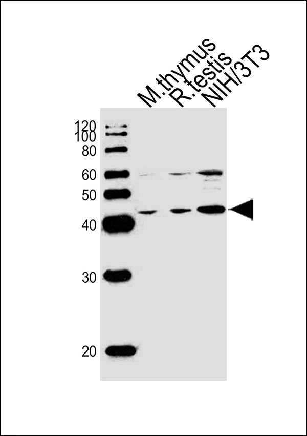 1 - Mouse Tfap2a Antibody (Center) AW5049