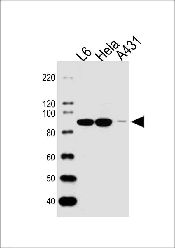 1 - HSP90AB1 Antibody (Center) AW5257