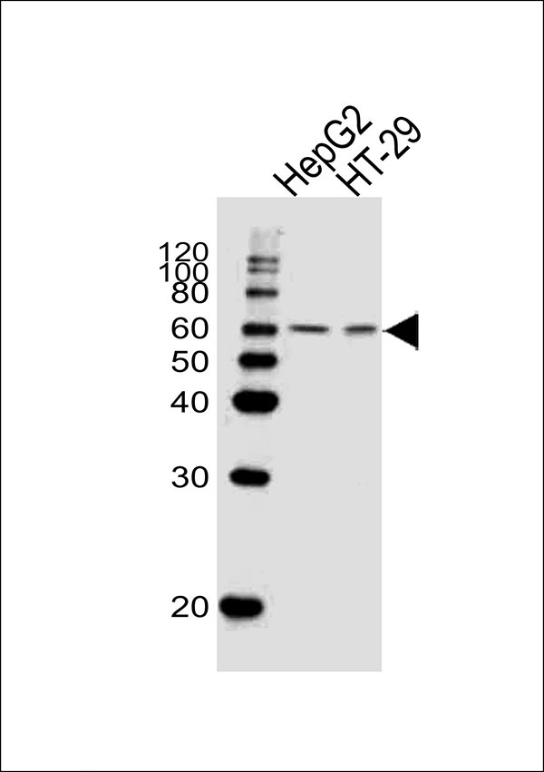 1 - SMAD6 Antibody (Center) AW5282