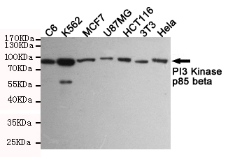 1 - PI3 Kinase p85 beta Antibody AP52796
