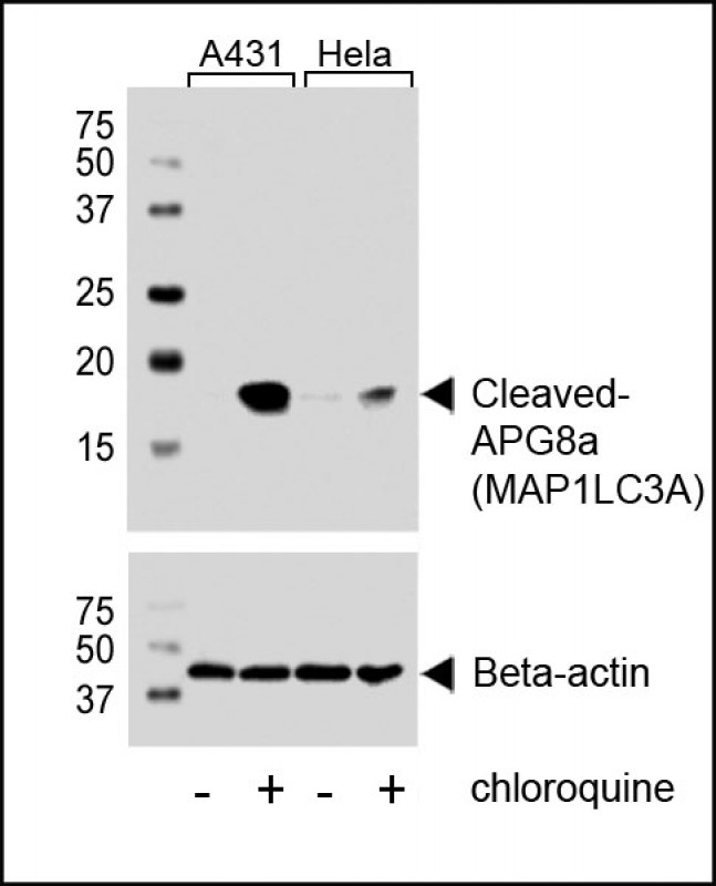 1 - Cleaved LC3A Antibody AW5518