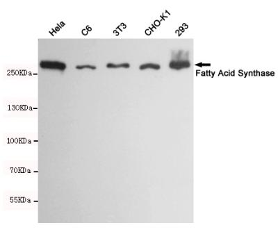 1 - Anti-Fatty Acid Synthase Antibody AP53387