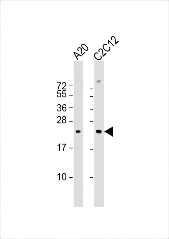 1 - Mouse BAD Antibody (Center S134) AP19245c